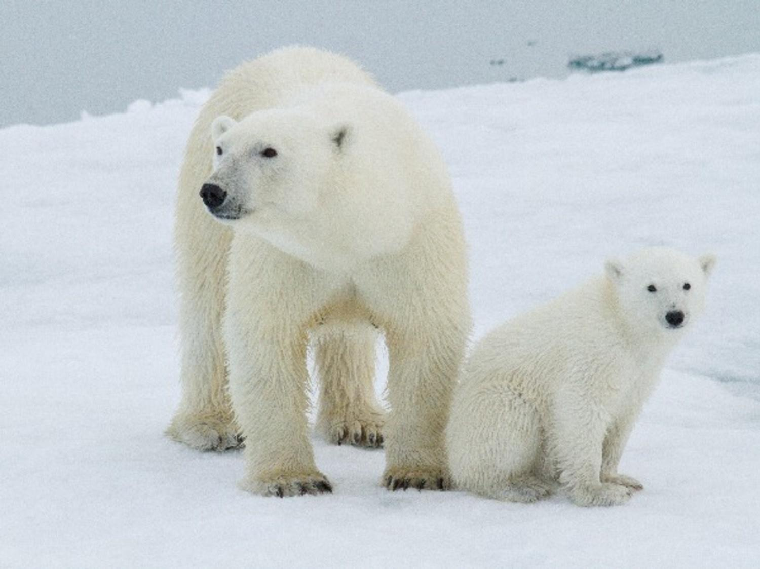 Polar Bears To Become Extinct By 2100: Study