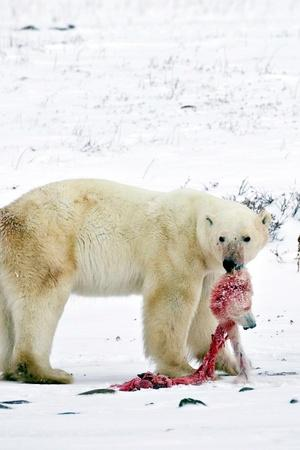 Polar Bears Are Eating Their Own Children