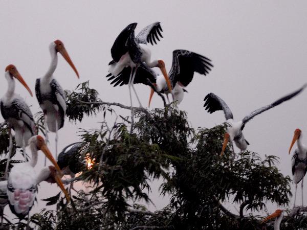 Siberian Cranes
