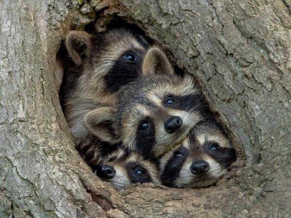 raccoon family is crowded in the cave and dare not go out