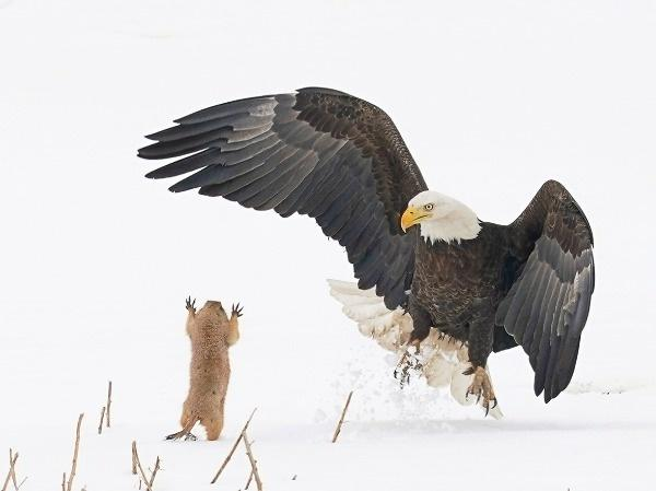 Bald Eagle missed on its attempt to grab this prairie dog